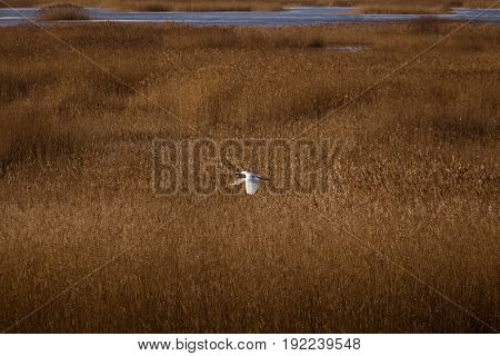 A Beautiful White Heron Flying Near The Shore Of A Lake With Reeds