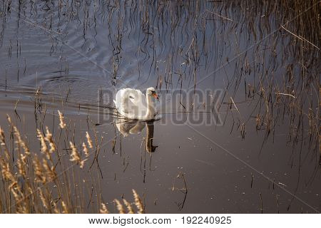 A Beautiful White Swan Swimming In A Lake With Reeds