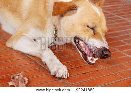 Brown dog cute is staring on floor