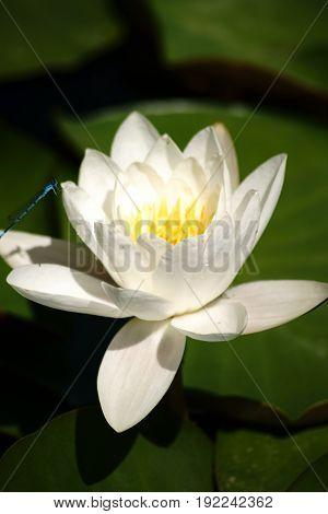 The flower of a single white water lily on the water surface of a pond.