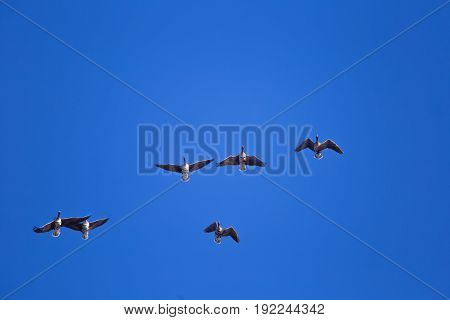 A Beautiful Flying Flock Of Migratory Geese On The Blue Sky Background