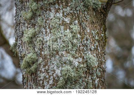 A Beautiful Closeup Of A Lichen On A Tree Bark