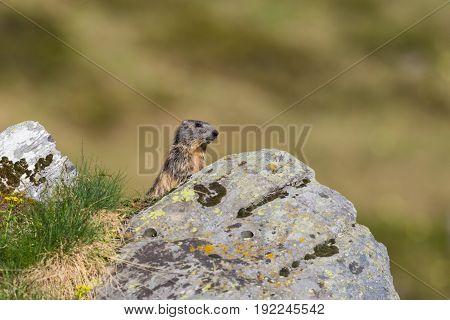 Alpine Groundhog (marmota Monax) Standing Behind Rock In Grassland