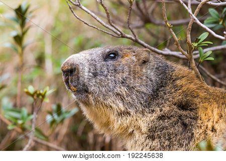 Detailed Outdoor Portrait Of Alpine Groundhog (marmota Monax)