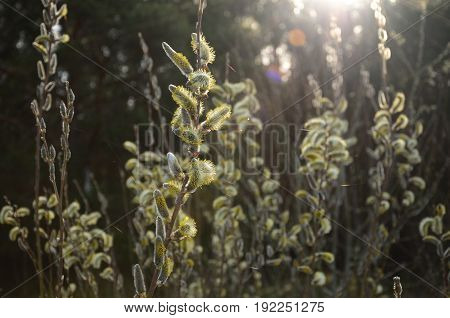 The blooming willow in the sun at dawn in the spring