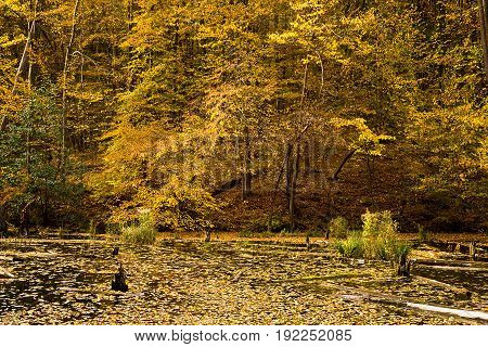 Autumn lake with yellow trees on the beach and logs in the water