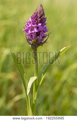 Southern marsh orchid (Dactylorhiza praetermissa). Plant in the family Orchidaceae in flower in British grassland