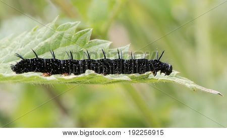 Peacock butterfly (Aglais io) late instar caterpillar. Impressive larva in the family Nymphalidae feeding on stinging nettle (Urtica dioica)