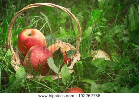 Ripe apples in basket on the grass selective focus
