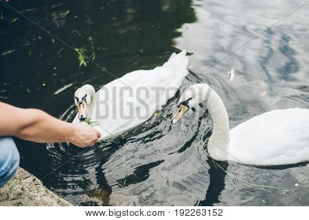 Man feeding swan with grass , swan in the lake