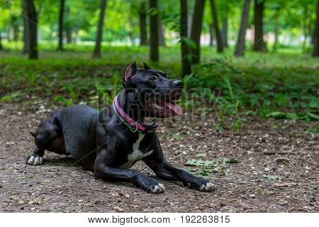 Horizontal portrait Black and white American pit bull terrier lay down in training in park