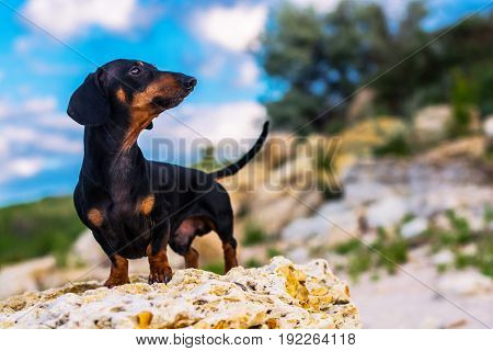 portrait of a dog (puppy) breed dachshund black tan standing in full length on a stone against a blue sky with clouds