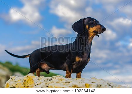 portrait of a dog (puppy), breed dachshund black tan, standing in full length on a stone against a blue sky with clouds