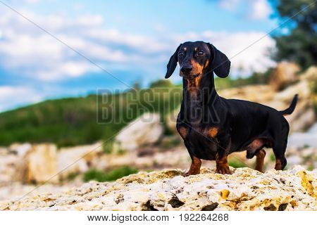 portrait of a dog (puppy), breed dachshund black and brown, standing in full length on a stone against a blue sky with clouds.