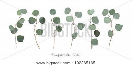 Eucalyptus silver dollar foliage natural branches with leaves tropical tree elements in watercolor style set collection. Vector decorative beautiful cute elegant illustration for design decoration.