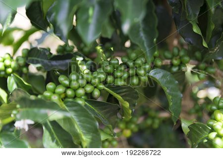 Green Coffee Beans On Branch