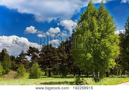 Birches pines and spruce in the summer forest