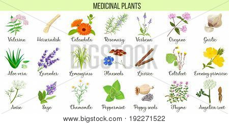 Big vector set of medicinal plants. Valerian Aloe vera lavender peppermint angelica root Chamomile verbena anise coltsfoot thyme etc. For health care aromatherapy homeopathy.
