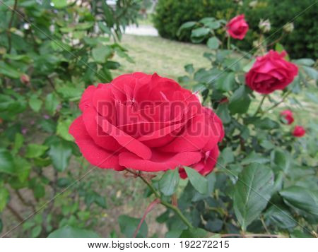Red rose flowers with water droplets in spring