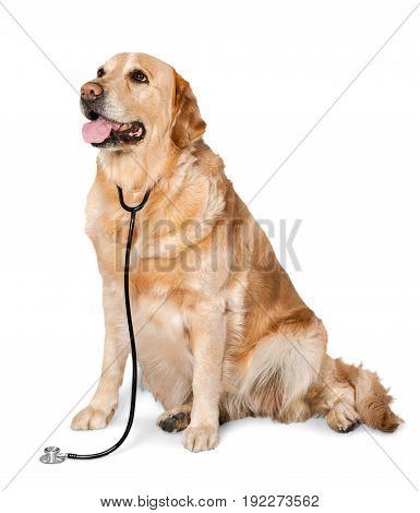Beautiful labrador retriever yellow white background isolated