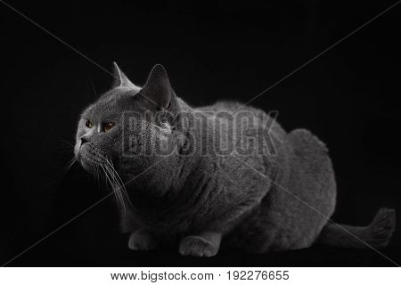 Gray Shorthair British Cat Lying