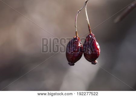 Two dried rose hips hang onto their branch in late winter.
