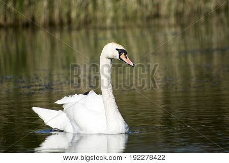 White, big mute swan swimming on the lake