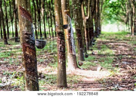 Row of tapped rubber tree or Hevea Brasiliensis with drops of natural white latex drip from the tree at plantation in Thailand