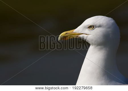 Herring gull (Larus argentatus) head in close up profile with copy space. Seagull poster image. Seaside bird.
