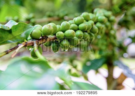 Group row green fruits of coffee berry on a tree and drops of water after rain