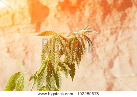 The Growth Of The Cannabis Grows In The Sand On A Sandy Background. Marijuana Is Green In Sunny Warm