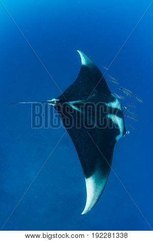Manta ray with school of remola from above on the blue background Koh Bon Similan Marine National Park Thailand