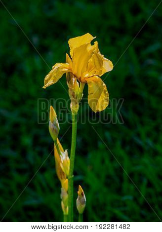 Beautiful flowers of iris. Beautiful irises on green background. Iris plant in garden bloom in spring.