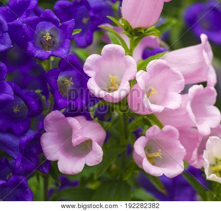 Blue Bell Flowerspurple bell flower. Beautiful spring background with campanula bouquet.