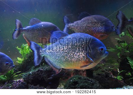 Big Piranha Fish