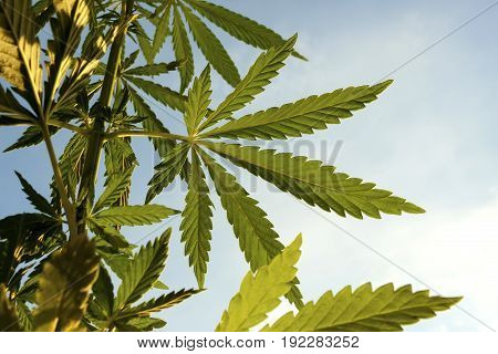 Marijuana. Hemp. Cannabis, Good Background. Cannabis Leaf On Blurred Background. Cannabis High Quali