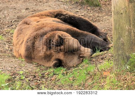 brown bear taking an afternoon nap in the sun