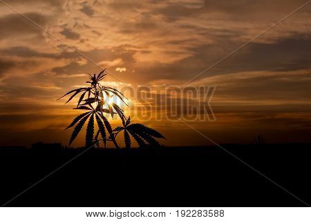 Marijuana. Hemp. Silhouette Of Cannabis On A Blurred Fotne In The Sunset Bright Light. Cannabis In S