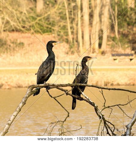 couple of cormorants n the park, Belgium