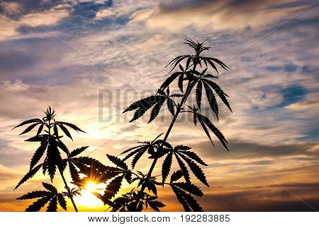 Silhouette Of Cannabis On A Blurred Background In Sunset Bright Light. Marijuana. Hemp. Cannabis In