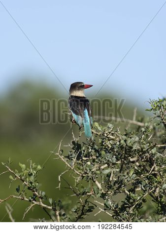 Brown Hooded Kingfisher, South Africa