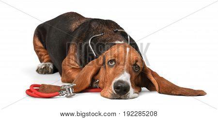Dog stethoscope hound basset basset hound red background