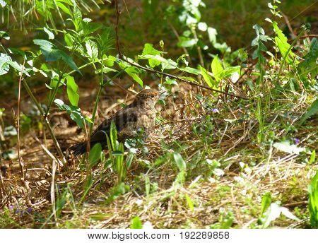 Photo of a female blackbird hiding in the grass