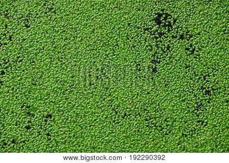 Green floral background with duckweed on the lake