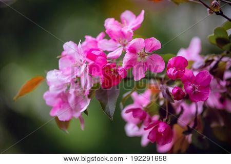 Purple blossom Hall crabapple (Malus halliana) background