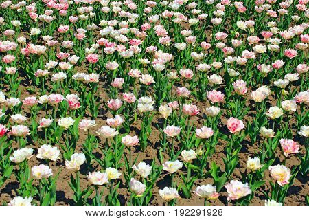 pink and white beautiful tulips on the flower-bed