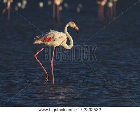Greater flamingo, phoenicopterus roseus, standing in the blue water, Camargue, France