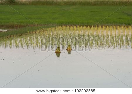 rice seedlings in paddy field, indirect seeding