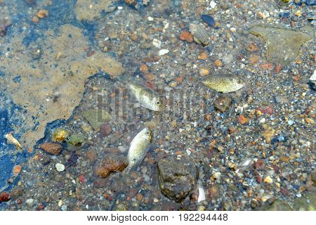 Small fish die on the dirty beach photo in outdoor sun and low lighting.