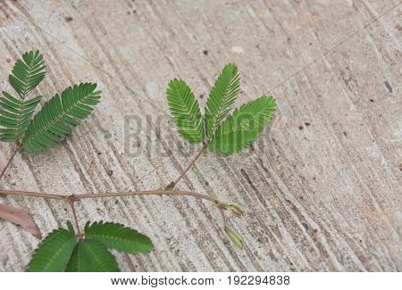 Sensitive plant or mimosa pudica plant on cement floor